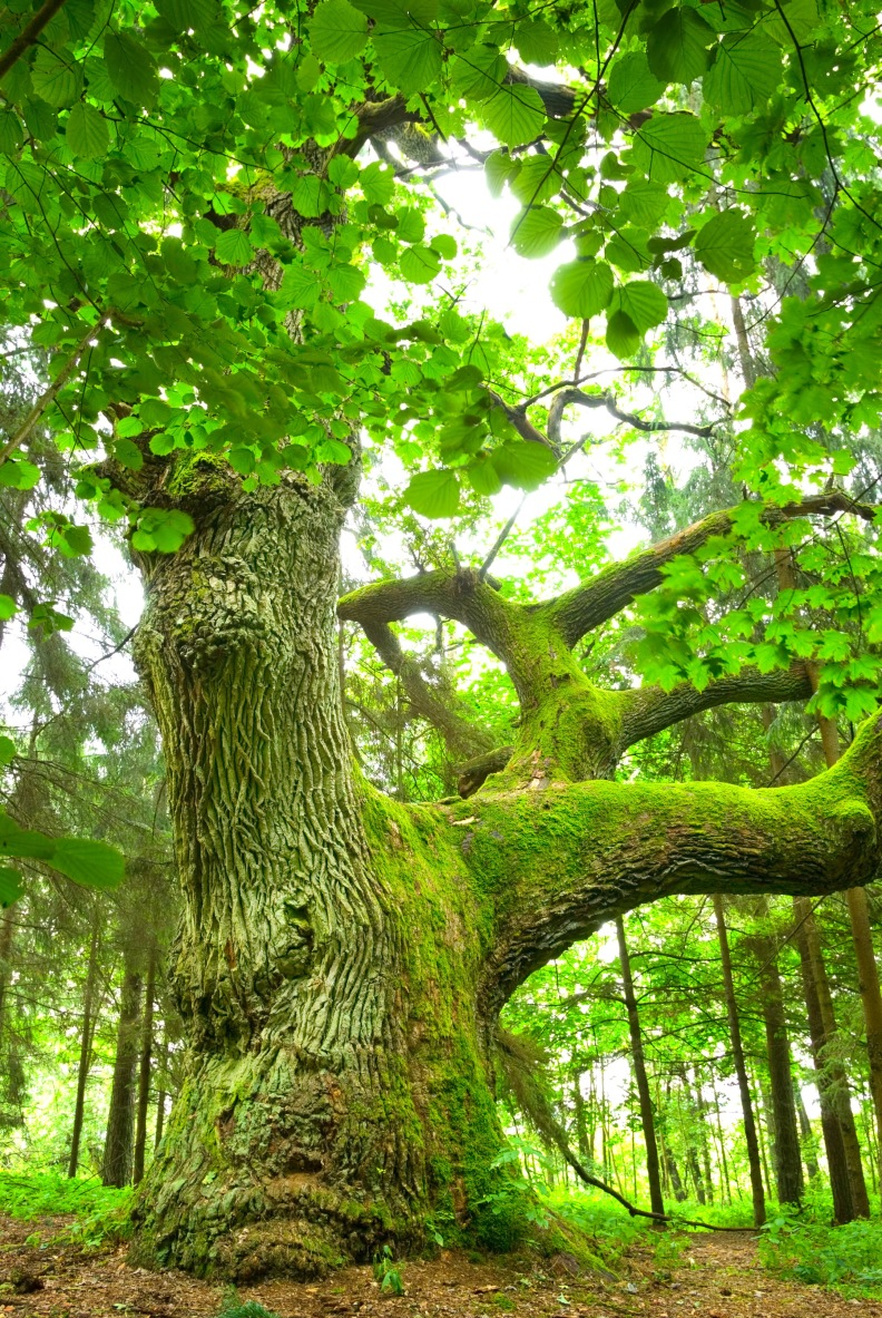 Old Oak Tree- Strengthen Your Character through Trauma Therapy in Bonn