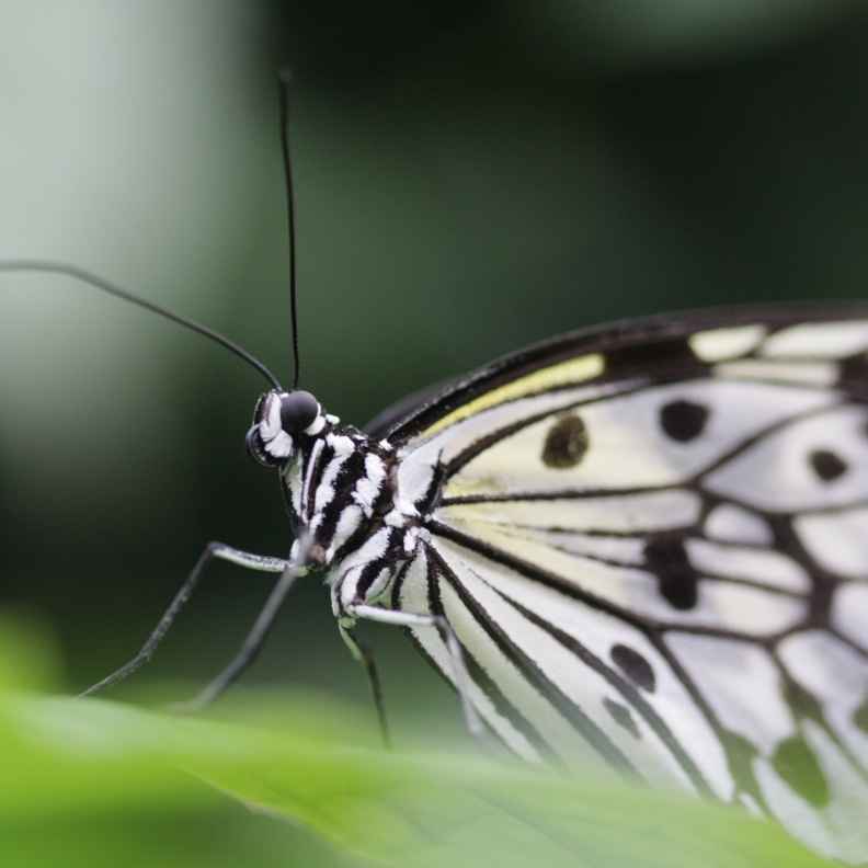 Schmetterling - Transformation durch Somatic Experiencing in Bonn
