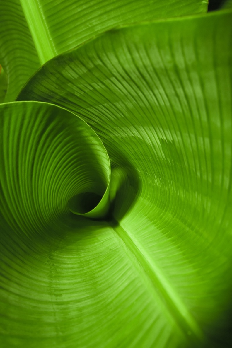 Bananenblatt - Entfaltung und Wachstum durch Selbstregulation