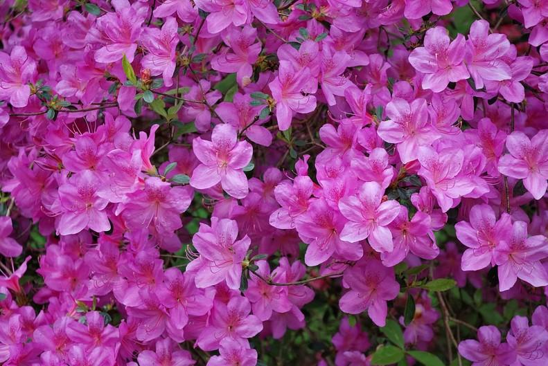 Azaleen Blumen