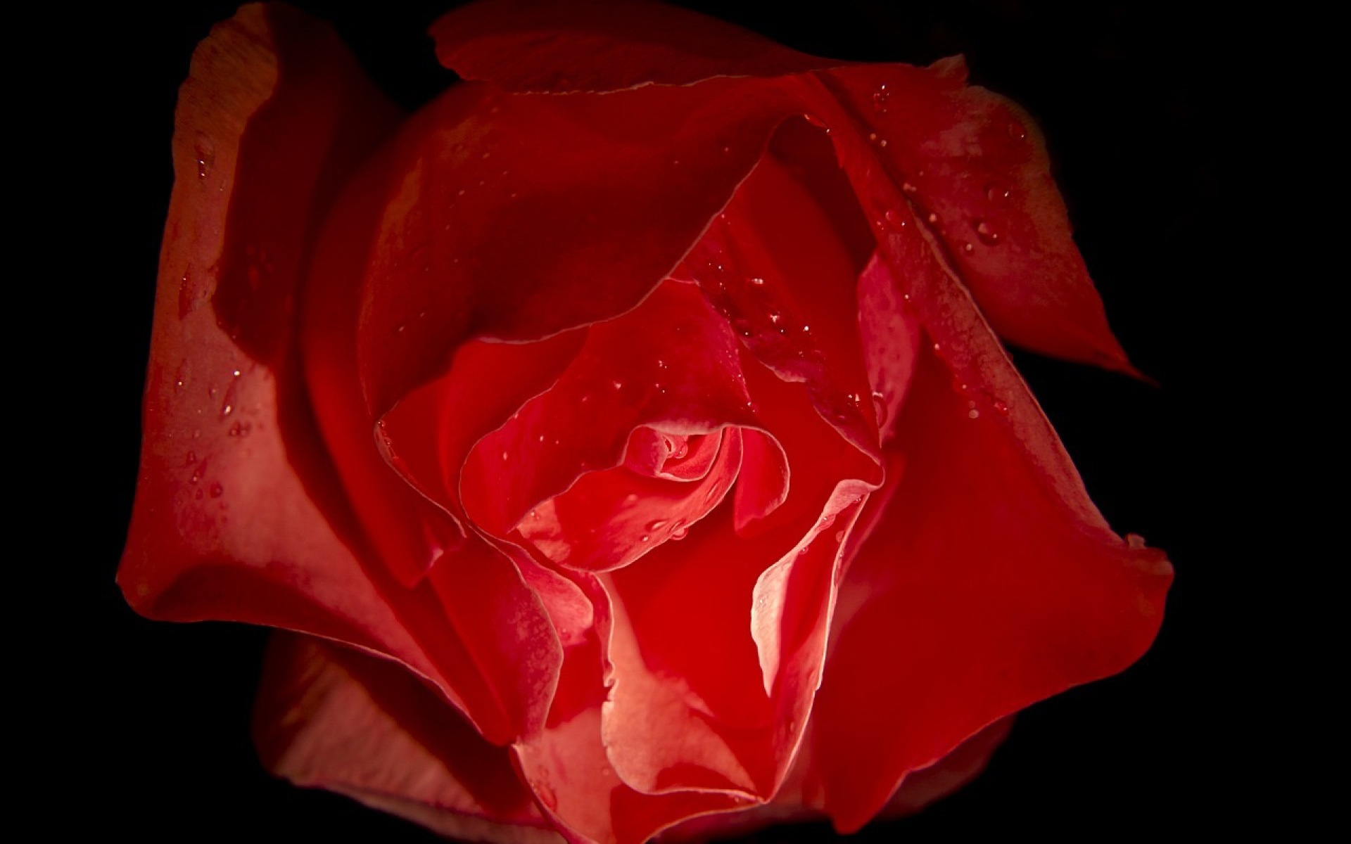 Rosa-3580753_1280