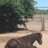 Pferde-Siesta auf dem Hollerhof