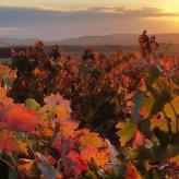 Weinreben im Rioja